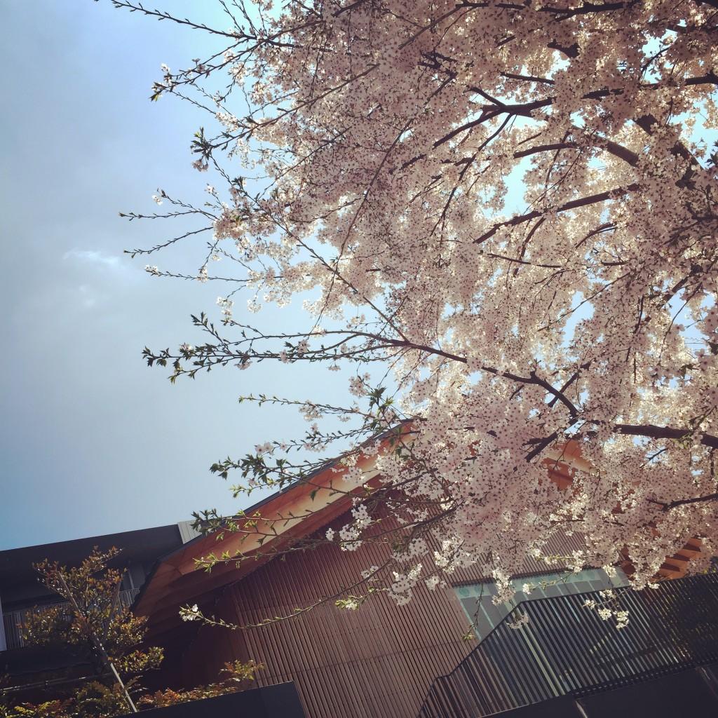 1-10赤城神社春櫻