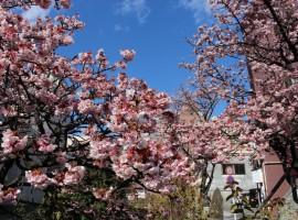 春節遊日本可以賞櫻了?熱海溫泉櫻花盛開中!