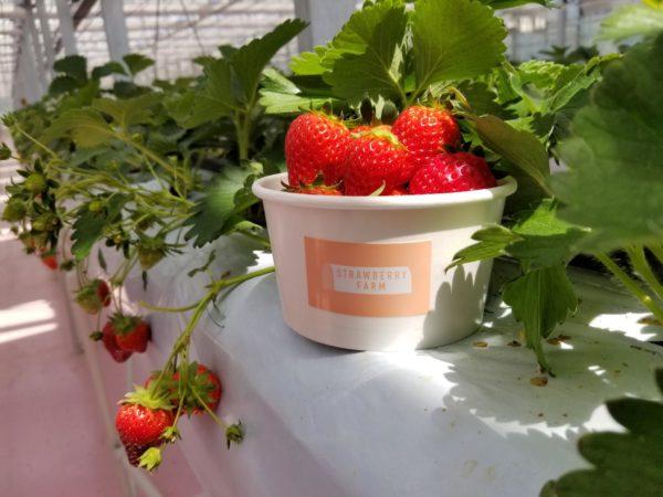 【橫濱必去】一年四季都能採,快來草莓控的天堂「TOKYO STRAWBERRY PARK」